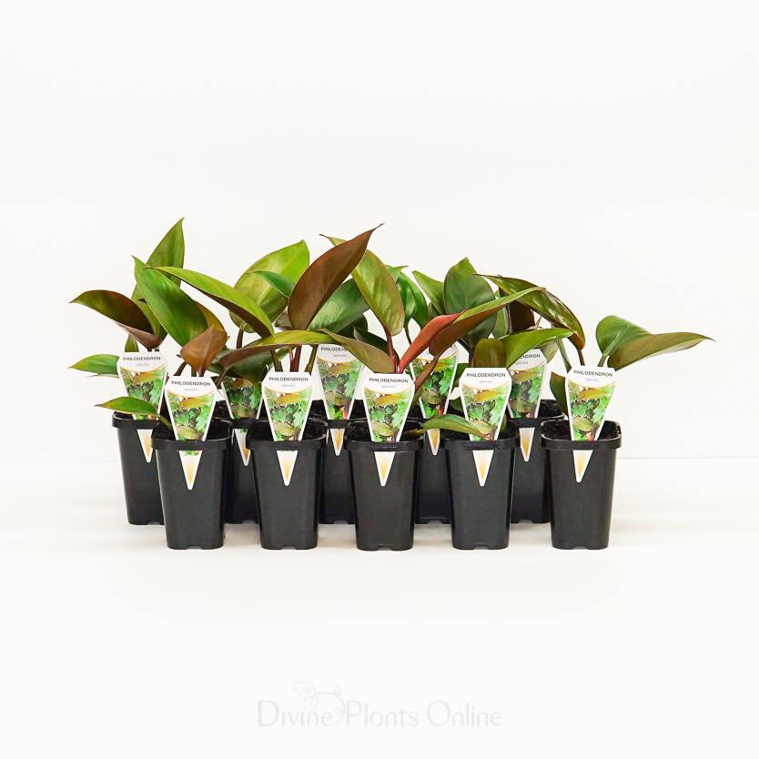 68mm Philodendron Rojo Congo