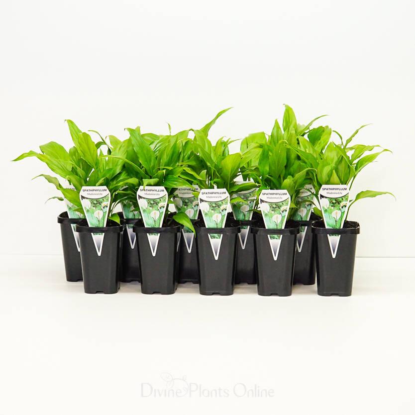68mm Spathiphyllum Clevelandii Mini Merry