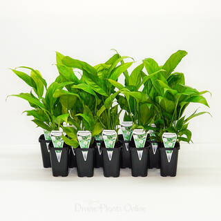 68mm Spathiphyllum Mojo