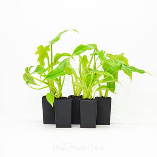68mm Philodendron Imbe