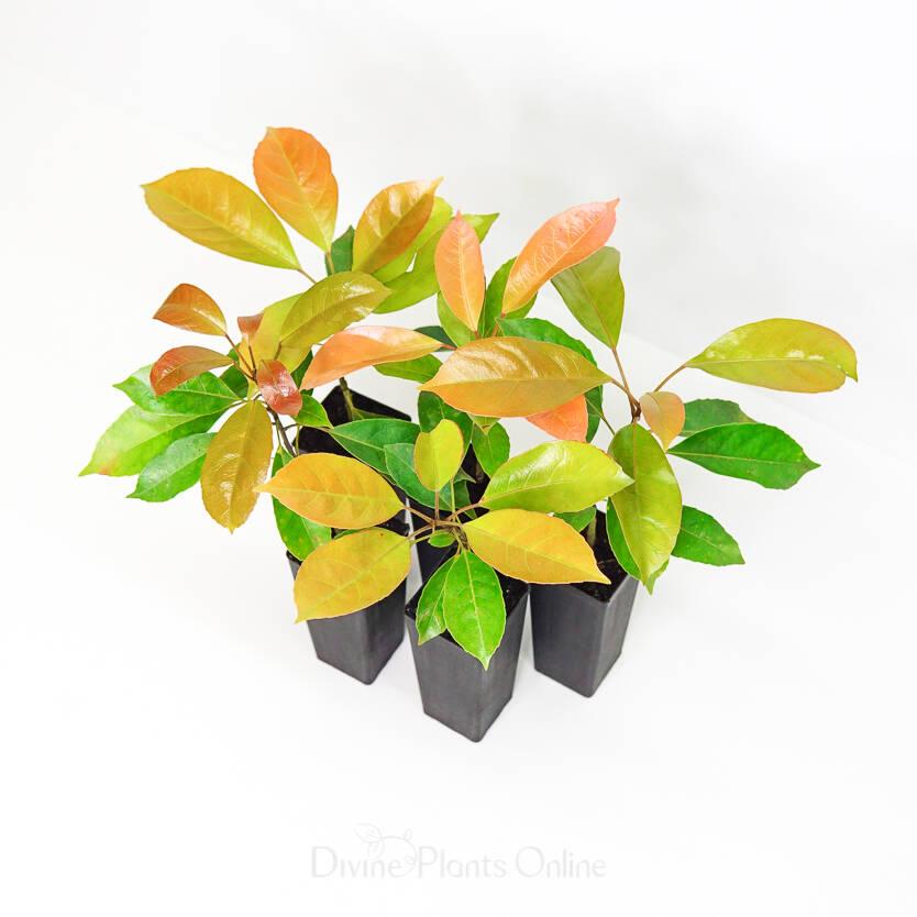 Elaeocarpus eumundii