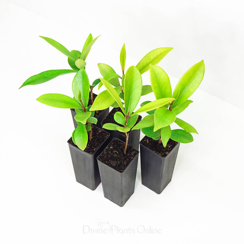 Syzygium moorei