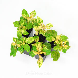 Alternanthera amoena Green & Gold
