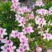 Azalea indica Exquisite