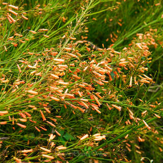 Russelia equisitiformis Tangerine Falls