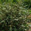 Loropetalum chinense White