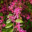 Loropetalum chinense China Pink