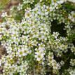 Leptospermum flavescens Cardwell