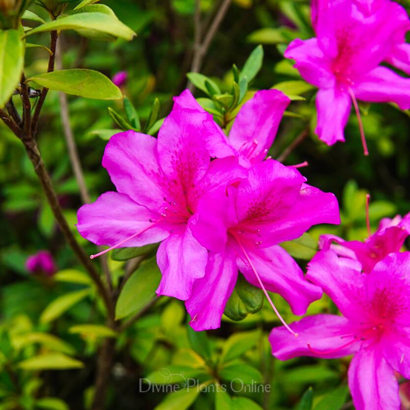 Azalea indica Magnifica