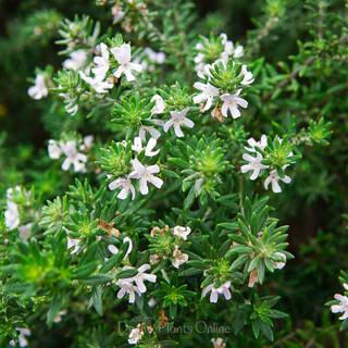 Westringia fruticosa Zena