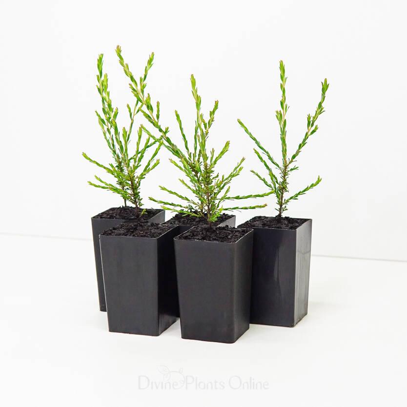 Leptospermum liversidgei Mozzie Blocker