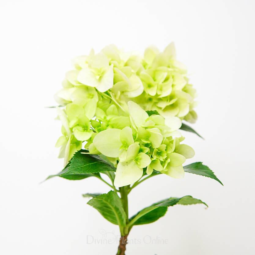 Hydrangea ssp. White