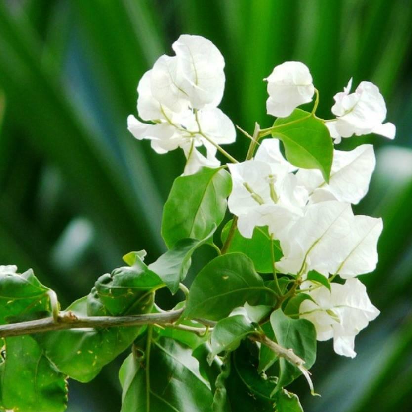 Bougainvillea White Cascade