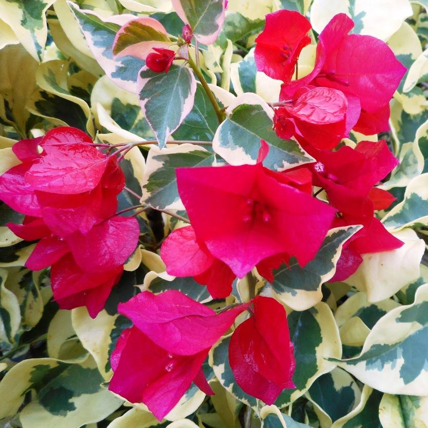 Bougainvillea Raspberry Ice