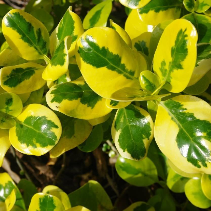 Euonymus fortunei Gold Splash