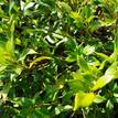 Gardenia augusta Four Seasons